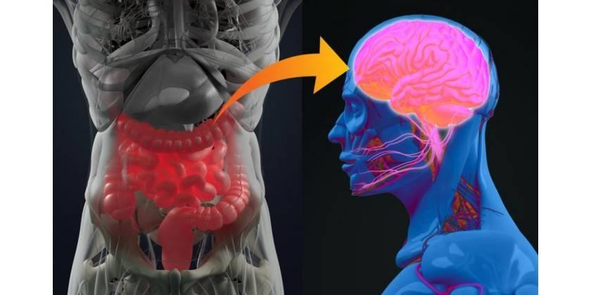 bakterierne-i-vores-hjerne